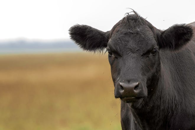 Beef cow in a pasture