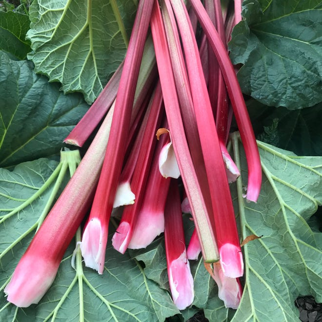 Rhubarb, a perennial plant, is one of the earliest crops in the garden, once the plant becomes well established. These stems were picked in the first week of May 2020 in Milwaukee.