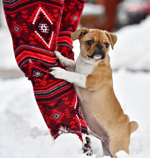 Milo, a nearly 12-week-old pug, stays close to his owner Tasha Redman, of York City, while she removes snow from three vehicles in front of her home in York City, Tuesday, Feb. 2, 2021. According to the National Weather Service, the winter storm, which began Sunday, left 10-12 inches of snow across York County. Dawn J. Sagert photo