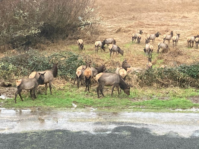 It's a case of herd community as 24 elk, two of them spike bulls, wander along a road near the Siletz River just southeast of Lincoln City.