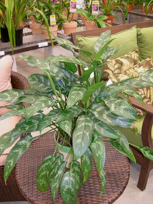 One of the most carefree houseplants is Aglaonema. It is an exceedingly popular plant and new selections and hybridizations have produced foliage with new, exciting hues such as pink – perfect for Valentine's Day! provide Aglaonema with bright, indirect light, warm temperatures, with regular moisture and they will reward you with lots of beautiful foliage and heady oxygen. [PHOTO CONTRIBUTED BY CAROL CLOUD BAILEY]