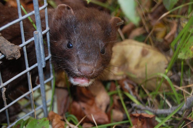 A wild mink leaves a live trap in Ontario, Canada in 2008. The photo was taken by scientists during a field study of interactions between escaped domestic and wild American mink. Officials in Wisconsin are scrambling to protect both humans and mink after outbreaks of the virus that causes COVID-19 on two Wisconsin mink farms killed 5,500 animals last year.