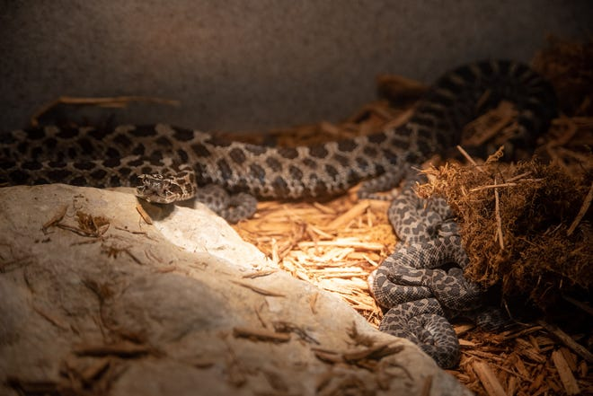 An eastern massasauga rattlesnake, an endangered species in Ohio, with its seven snakelets born at the Columbus Zoo and Aquarium on Jan. 20. The zoo is one of just five institutions accredited by the Association of Zoos and Aquariums that has successfully bred the species.