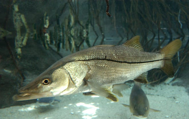 Back in season, snook can be caught along the area bridges even in the cold weather.