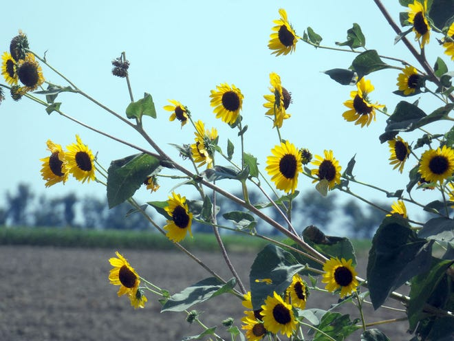 Sunflowers grow wild in every county of Kansas, surviving weather extremes and showcasing the glory of endurance.