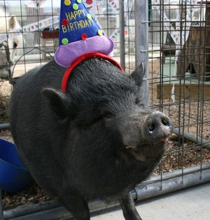 Wilbur celebrating his birthday at Boulevard Flower Gardens in Chesterfield in 2010.