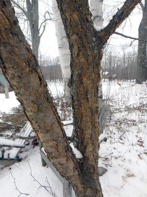 Amur maackia's peeling bark is interesting, especially in winter.