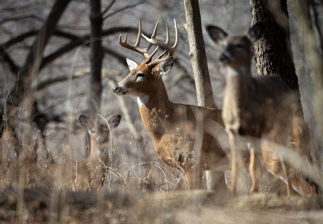 A buck emerges from the tree line near Lake Springfield with a family of deer foraging the the forest floor at Lincoln Memorial Garden in Springfield, Ill., Wednesday, February 3, 2021. [Justin L. Fowler/The State Journal-Register]