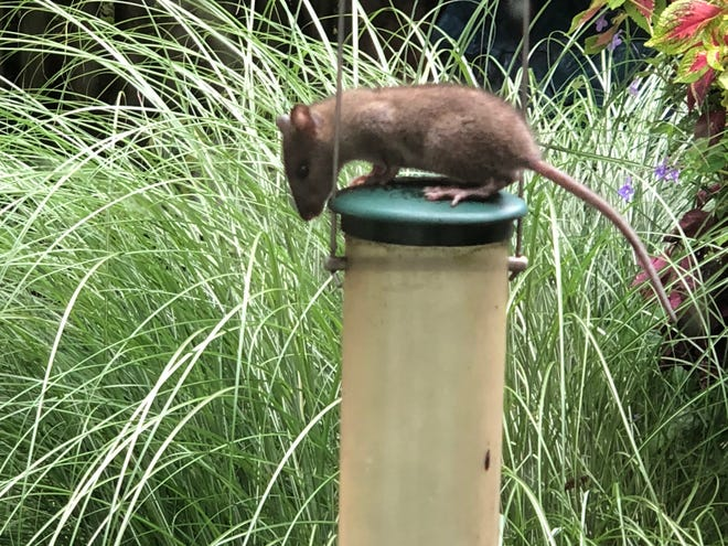 Harwitch Road resident Hope Harrison captured an image of a rat that scaled a Shepard's hook in her backyard last July to access a bird feeder. City officials say local construction and food sources outside homes can lead to intrusions from a variety of rodents and other wildlife.