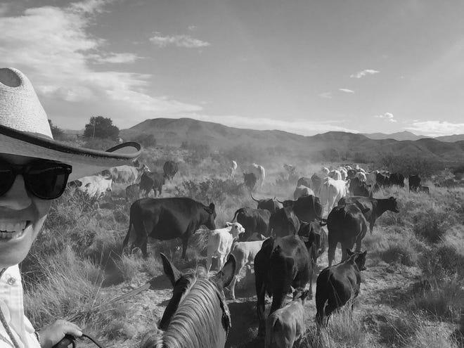 Ashton Graham drives a heard of cattle.