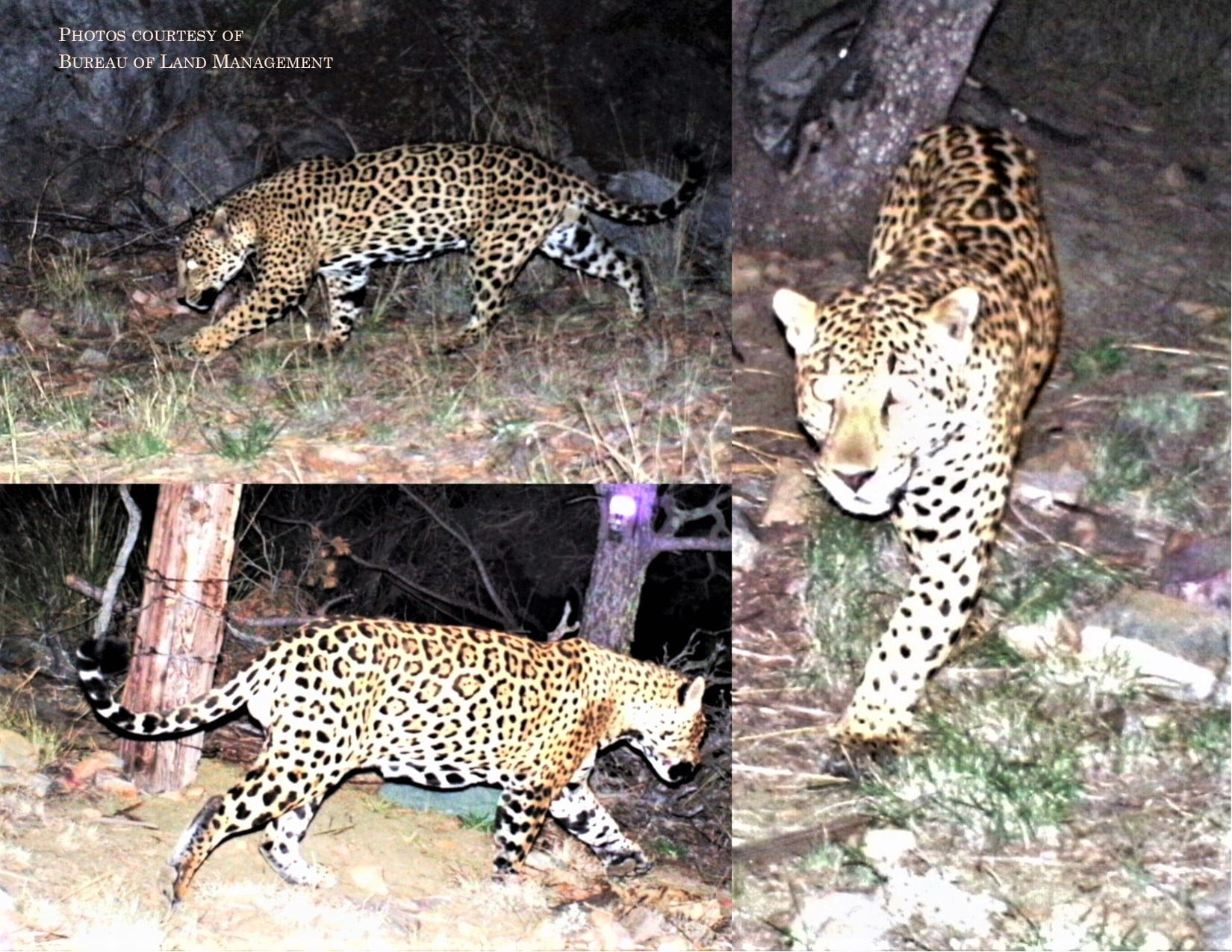 These photos of a male jaguar were captured by a trail camera Jan. 6 in the Dos Cabezas-Chiricahua Mountains region.