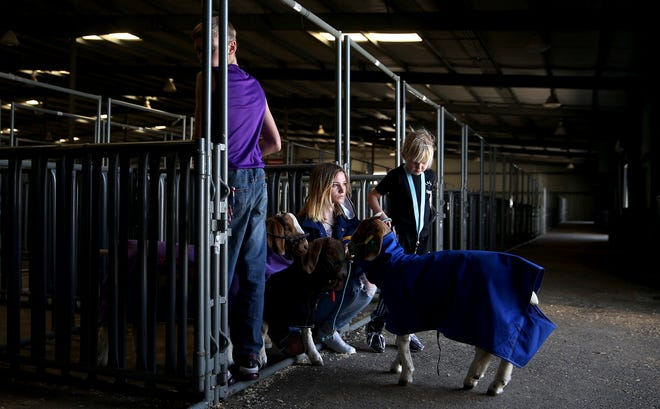 From left: Riley Hataway, Blakelee Slavek and Paislee Hataway move their animals into a barn during the first day of the San Angelo Stock Show on Wednesday, Feb. 3, 2021.