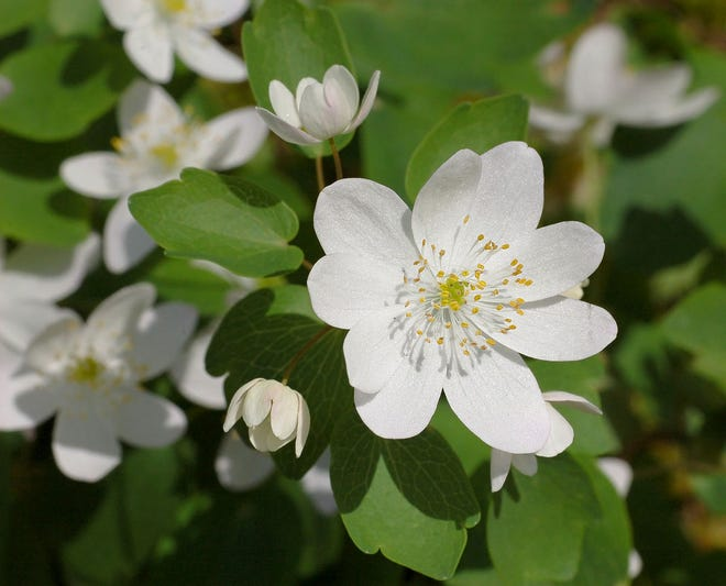 The sweet smell of rue anemone may help attract pollinators, such as queen bumble bees emerging from hibernation.