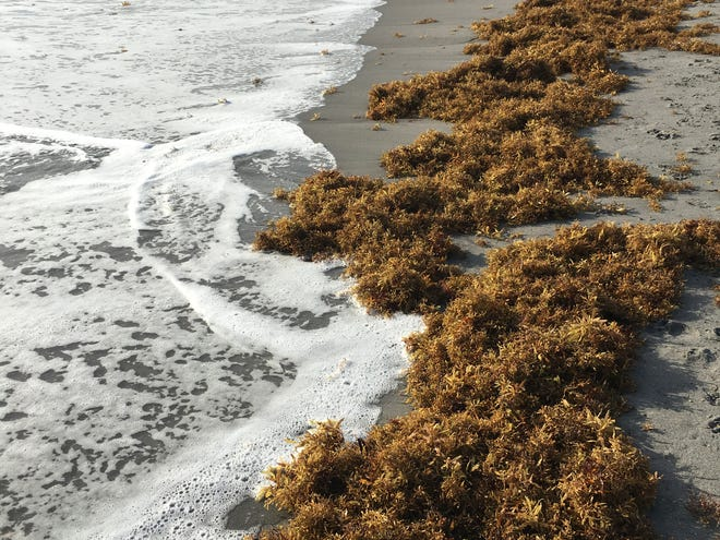 Here is a bit trivia, find the answer on Treasure Coast beaches. Question: Eight-five percent of the world's plants live where? Answer: Most of the world's plants live in the ocean and include algae, seaweed (pictured) and seagrass. The most abundant plant in the ocean is phytoplankton, which, together with the other ocean plants, produce 50-80% of the world's oxygen.