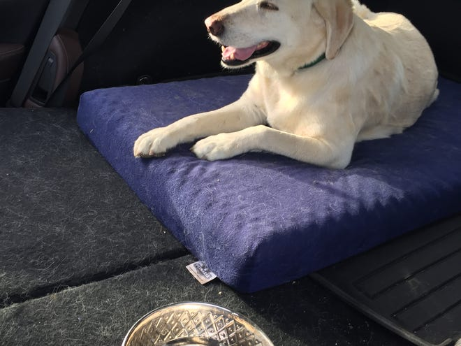 Miles, an 8-year-old golden retriever, was recovered by Thousand Oaks authorities after being stolen from a Newbury Park family.