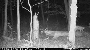 A photo taken from a trail camera in Furnace Run Metro Park shows a bobcat strollng by.