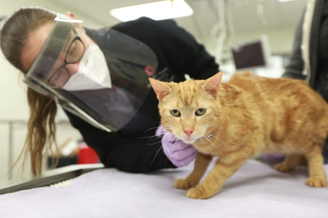 Dr. Jenessa Winston looks at Butterfinger, a male cat being tested for SARS-CoV-2 as part of a surveillance program through the Ohio State College of Veterinary Medicine.