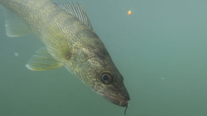 Walleye fish on Greers Ferry lake