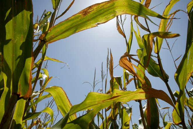 An Oklahoma corn field. A presidential administration policy shift toward more green energy could have ripple effects on other Oklahoma crops.