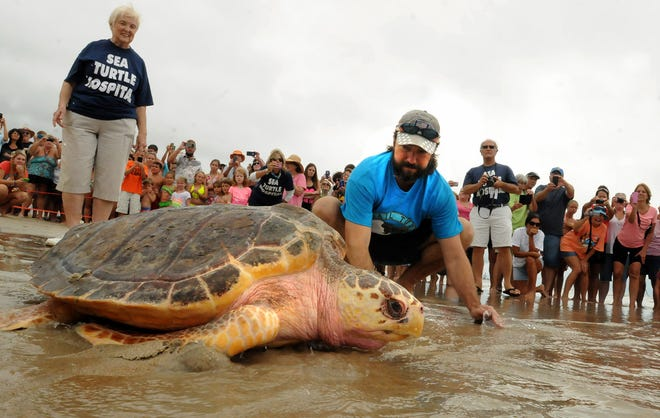 Jean Beasley looks on as Dane Vertefay watches Dane a juvenile loggerhead sea turtle that he rescued in August of 2013 walk back into the ocean along the shore of Surf City in 2014.