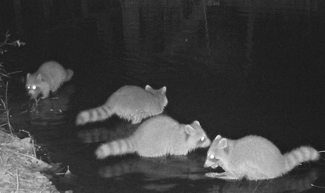 """Capt. John Smith, who wrote about pelts of """"rahaughcums,"""" would have marveled at this picture of four raccoons captured by a wildlife camera. [Photo by Whit Gibbons]"""