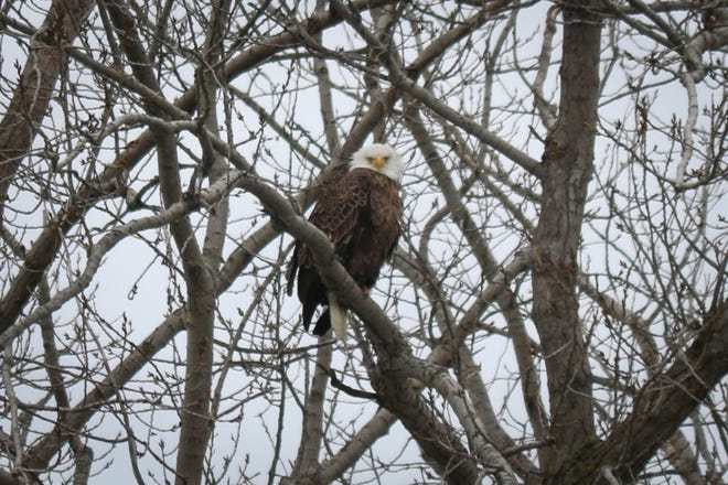 An eagle perched near the mouth of the Portage River overlooks Waterworks Park near downtown Port Clinton.