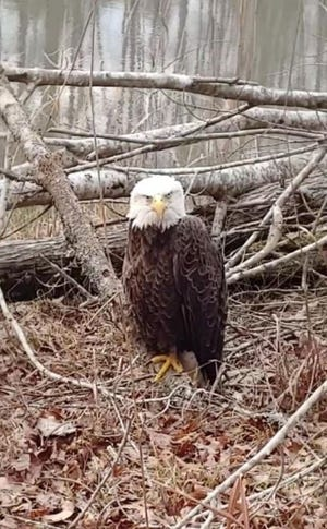 This bald eagle found in Oglethorpe County was suffering from lead poisoning. [Ben Hill/special]