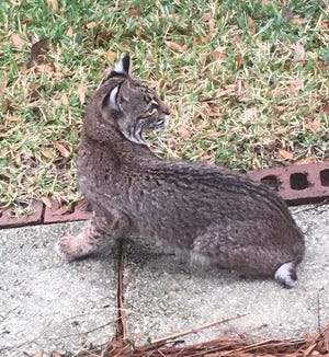 Verna Sesso spotted this bobcat outside her bedroom window in the backyard of her Niceville home on Friday.