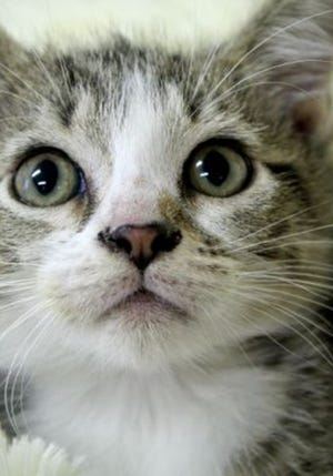 Angelo, a baby male tabby and tuxedo mix, is available for adoption from Wags & Whiskers Pet Rescue. Routine shots are up to date. Call 904-797-6039 or go to wwpetrescue.org to see more pets.