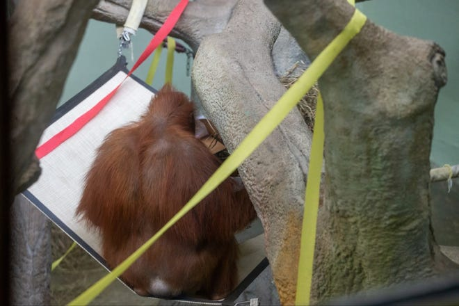 An orangutan rips open the Tampa Bay Buccaneers box, presumably picking them to win the Super Bowl.