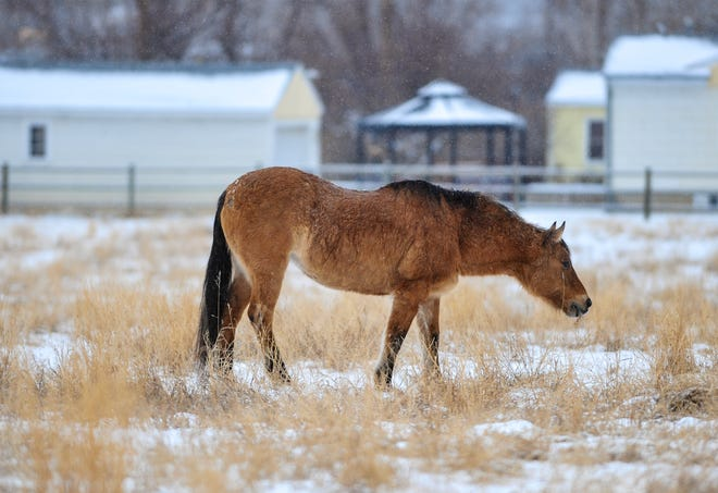 A horse feeds in its pasture on the west side of Great Falls as snow continues to fall in Great Falls Friday.