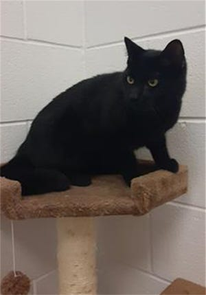 """""""Shadow"""" is a neutered male Black Bombay mix with current rabies and FVRCP vaccines."""