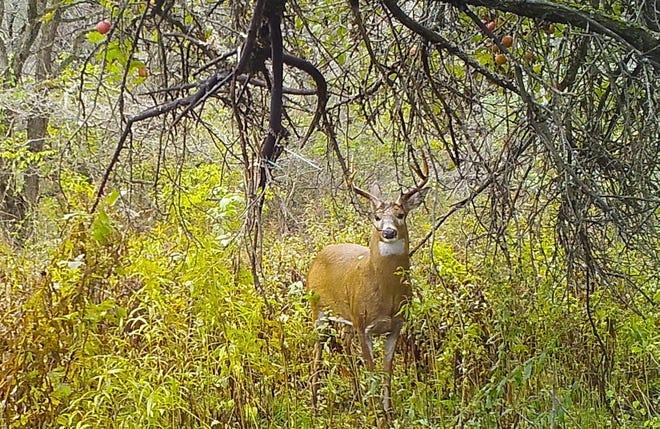 An eight-point buck under an old apple tree.