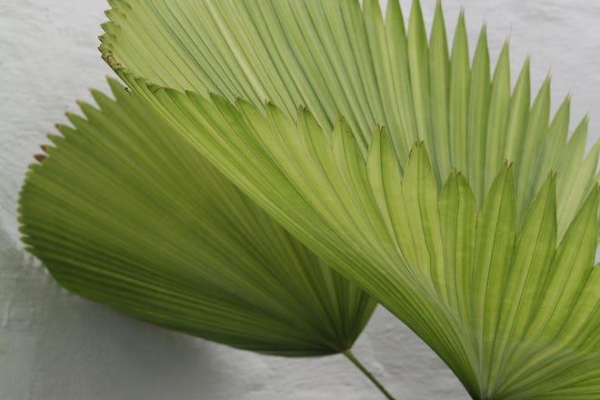Sumawong's fan palm, elegant palm