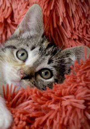 Josie, a baby female tabby, is available for adoption from Wags & Whiskers Pet Rescue. Routine shots are up to date. Call 904-797-6039 or go to wwpetrescue.org to see more pets.