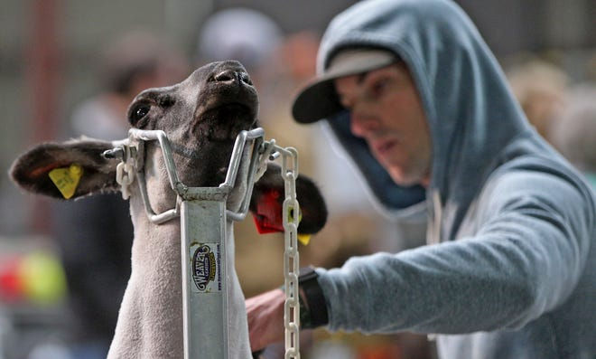 Slayton Strube trims the coat of his lamb at the San Angelo Stock Show on Sunday, Feb. 7, 2021.