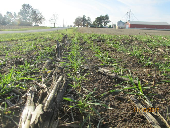 Triticale after corn, before beans. These cover crops were planted on over 24 acres in the fall of 2017 in Henderson Township with state cost-share funds to prevent an estimated: soil loss of 5.6 Tons/year, nitrogen loss of 5 lbs/year, and phosphorus loss of 2 lbs/year.]