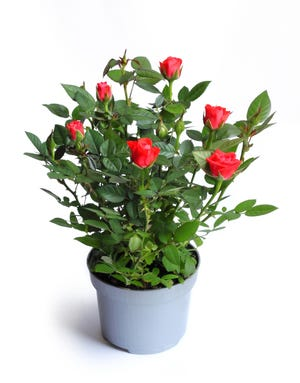 Miniature rose in a flower pot.