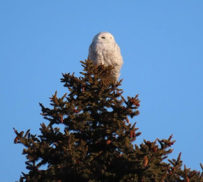 This Snowy Owl, seen at the Hampton/Seabrook line, was one of five owl species found by the Twitcher teams in the Semi-Superbowl of Birding.