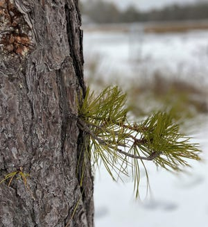 An epicormic growth on the trunk of a pitch pine along the Mousam River.
