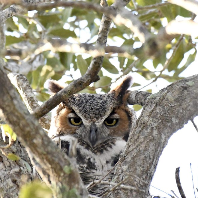 A great horned owl at the Loxahatchee National Wildlife Refuge. BARRY WILLETTE / U.S. FISH AND WILDLIFE SERVICE VOLUNTEER