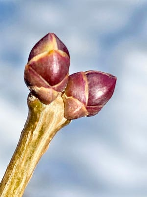 A lilac bud gestates in preparation for springtime, when its leaves will sprout from this protective shell.