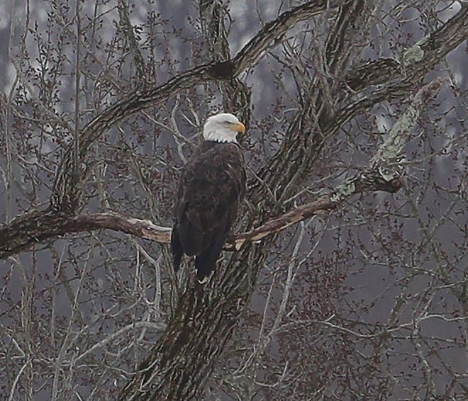 A bald eagle named Summit is perched in a walnut tree on land that once was the Valley View Golf Course in Akron.