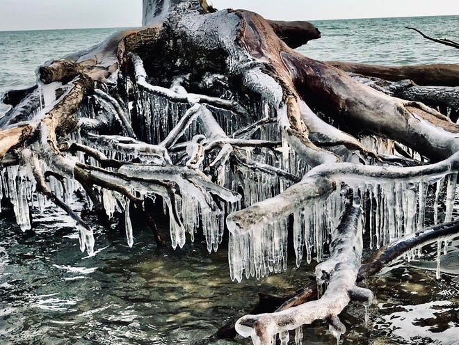 These tree roots are literally rooted in ice.