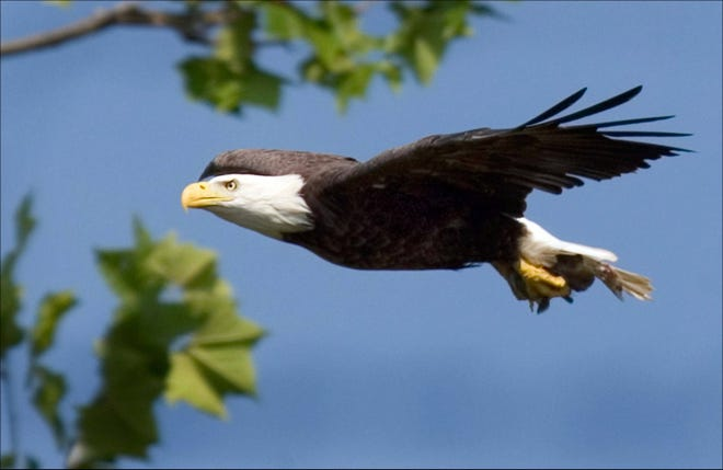 A bald eagle takes flight in this U.S. Fish and Wildlife Service photo.