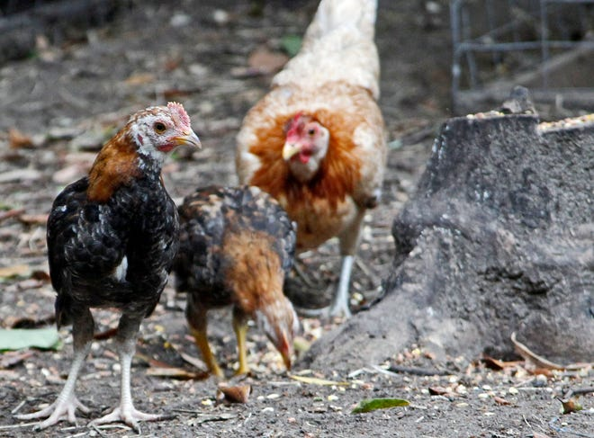 Soon, Winter Haven residents might be able to raise chickens - up to five per lot - without running, um, a-fowl of the law.