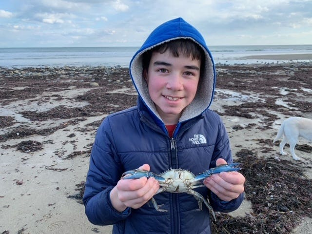 Blue Ocean Society volunteers conducting a beach cleaning found some rare blue crabs. Blue crabs are not typically found here in the Gulf of Maine. They are common from the Chesapeake Bay south to the Gulf of Mexico.