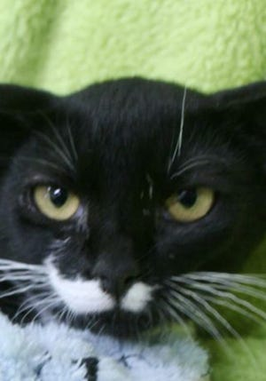 Yoda, a baby male tuxedo, is available for adoption from Wags & Whiskers Pet Rescue. Routine shots are up to date. Call 904-797-6039 or go to wwpetrescue.org to see more pets.