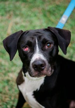 Rex, an adult male Labrador Retriever, is available for adoption from Wags & Whiskers Pet Rescue. Routine shots are up to date. Call 904-797-6039 or go to wwpetrescue.org to see more pets.
