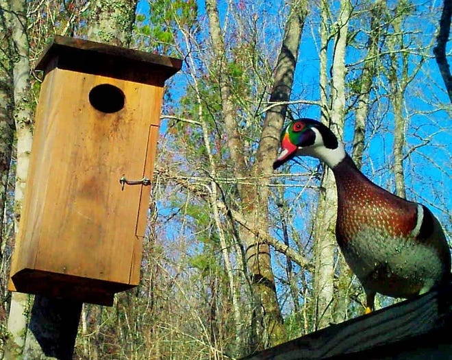 A colorful male wood duck stays close by a box where the female sits on a dozen eggs. [Photo by Whit Gibbons]